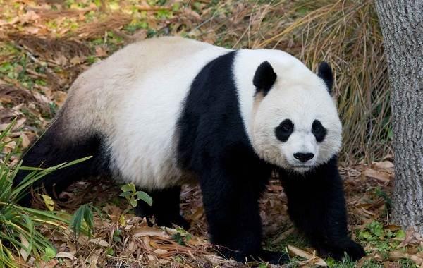 Панда-животное-Описание-особенности-образ-жизни-и-среда-обитания-панды-7