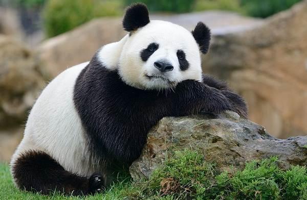 Панда-животное-Описание-особенности-образ-жизни-и-среда-обитания-панды-8