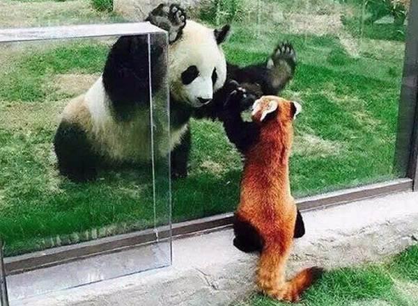 Панда-животное-Описание-особенности-образ-жизни-и-среда-обитания-панды-9