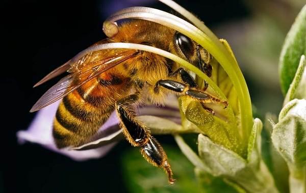 Пчела-насекомое-Описание-особенности-виды-образ-жизни-и-среда-обитания-пчелы-1