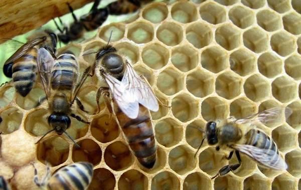 Пчела-насекомое-Описание-особенности-виды-образ-жизни-и-среда-обитания-пчелы-13