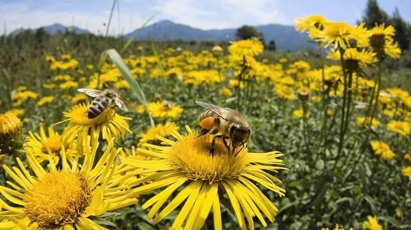 Пчела-насекомое-Описание-особенности-виды-образ-жизни-и-среда-обитания-пчелы-15