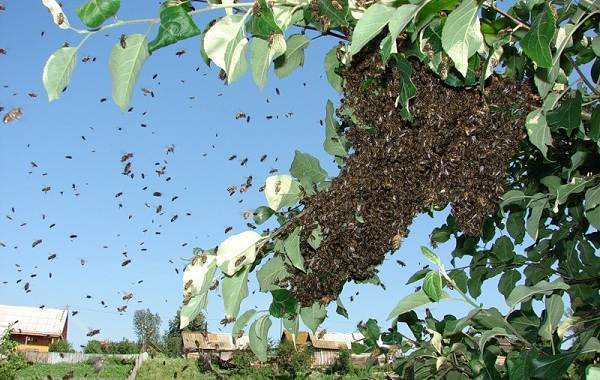 Пчела-насекомое-Описание-особенности-виды-образ-жизни-и-среда-обитания-пчелы-16