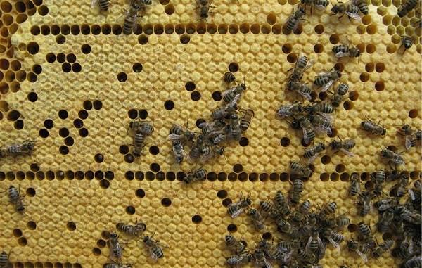 Пчела-насекомое-Описание-особенности-виды-образ-жизни-и-среда-обитания-пчелы-17