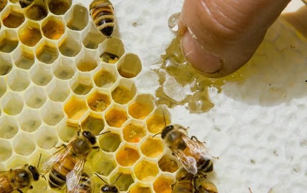 Пчела-насекомое-Описание-особенности-виды-образ-жизни-и-среда-обитания-пчелы-2