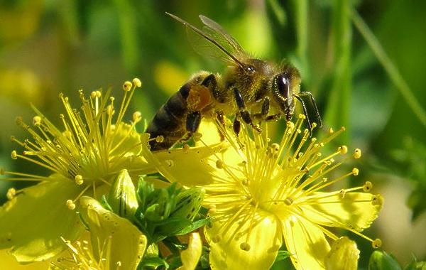 Пчела-насекомое-Описание-особенности-виды-образ-жизни-и-среда-обитания-пчелы-22