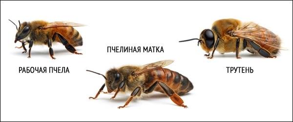 Пчела-насекомое-Описание-особенности-виды-образ-жизни-и-среда-обитания-пчелы-24