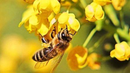 Пчела насекомое. Описание, особенности, виды, образ жизни и среда обитания пчелы