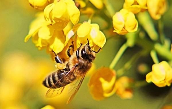 Пчела-насекомое-Описание-особенности-виды-образ-жизни-и-среда-обитания-пчелы-4