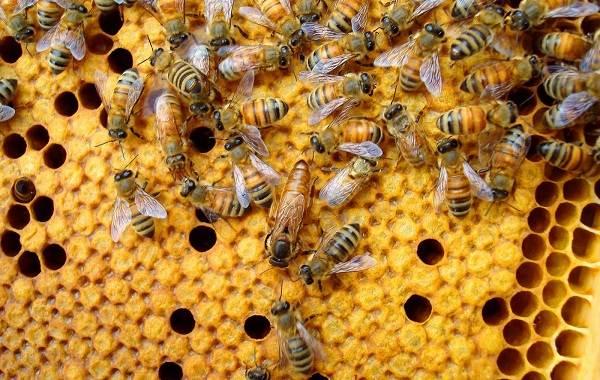 Пчела-насекомое-Описание-особенности-виды-образ-жизни-и-среда-обитания-пчелы-6