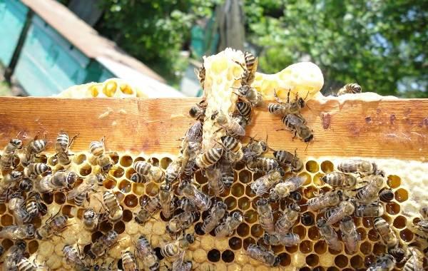 Пчела-насекомое-Описание-особенности-виды-образ-жизни-и-среда-обитания-пчелы-7