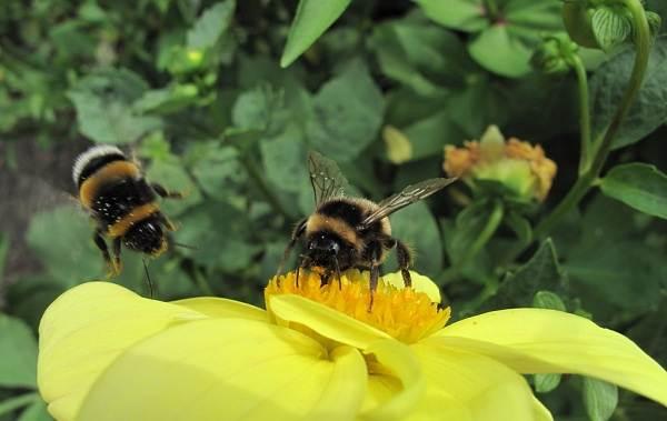 Пчела-насекомое-Описание-особенности-виды-образ-жизни-и-среда-обитания-пчелы-8