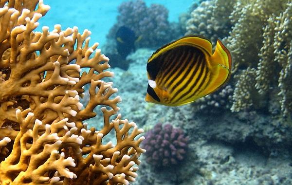 Рыбы-Красного-моря-Описание-особенности-и-названия-рыб-Красного-моря-1