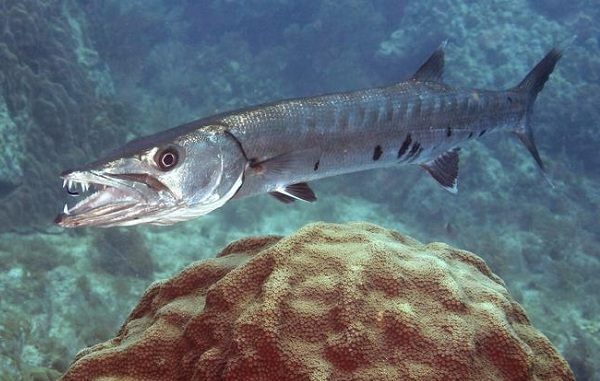 Рыбы-Красного-моря-Описание-особенности-и-названия-рыб-Красного-моря-25