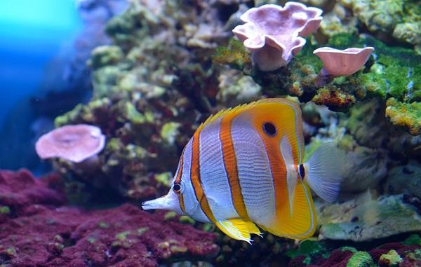Рыбы-Красного-моря-Описание-особенности-и-названия-рыб-Красного-моря-26