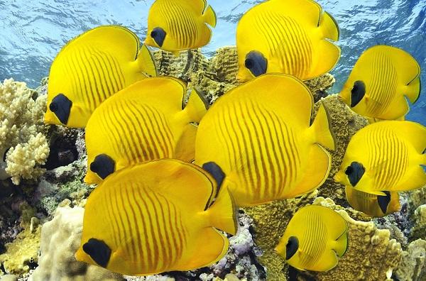 Рыбы-Красного-моря-Описание-особенности-и-названия-рыб-Красного-моря-27