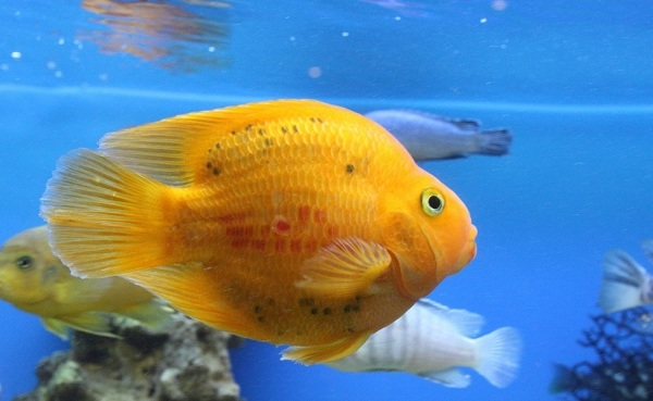 Рыбы-Красного-моря-Описание-особенности-и-названия-рыб-Красного-моря-28