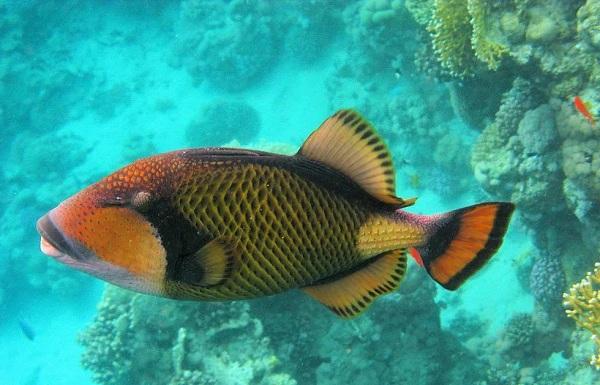 Рыбы-Красного-моря-Описание-особенности-и-названия-рыб-Красного-моря-30