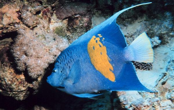 Рыбы-Красного-моря-Описание-особенности-и-названия-рыб-Красного-моря-31