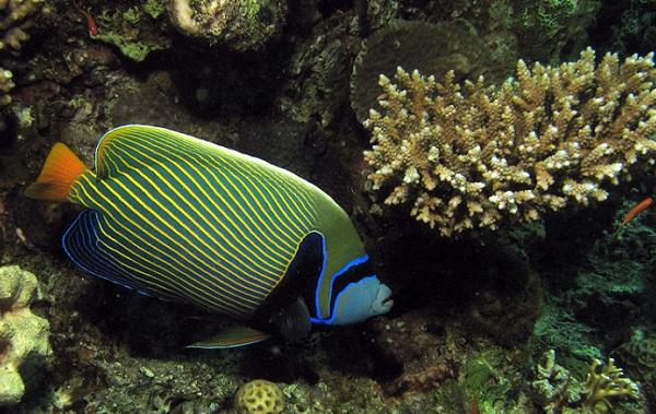 Рыбы-Красного-моря-Описание-особенности-и-названия-рыб-Красного-моря-32