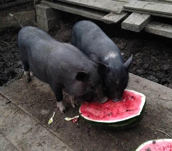 Вьетнамская-свинья-Описание-особенности-виды-и-разведение-вьетнамских-свиней-14