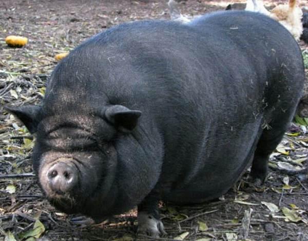 Вьетнамская-свинья-Описание-особенности-виды-и-разведение-вьетнамских-свиней-2