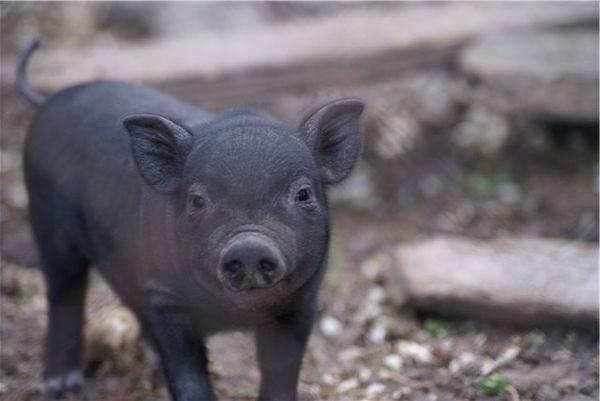 Вьетнамская-свинья-Описание-особенности-виды-и-разведение-вьетнамских-свиней-1