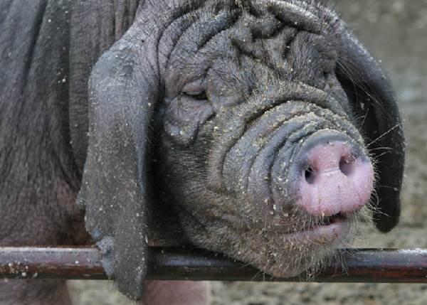 Вьетнамская-свинья-Описание-особенности-виды-и-разведение-вьетнамских-свиней-8