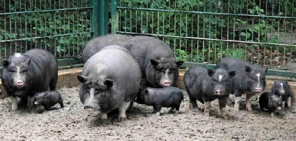 Вьетнамская-свинья-Описание-особенности-виды-и-разведение-вьетнамских-свиней-9