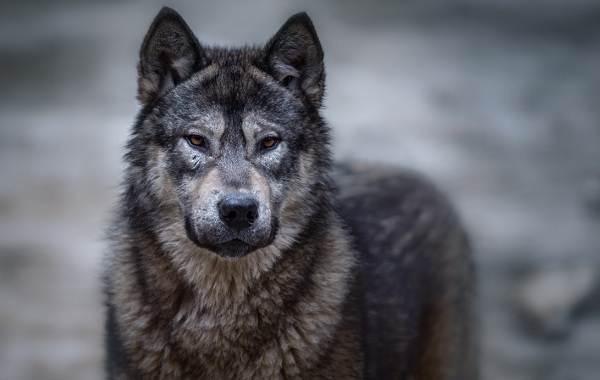 Вольфхунд-собака-Описание-особенности-содержание-и-цена-породы-вольфхунд-1
