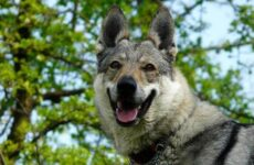 Вольфхунд собака. Описание, особенности, содержание и цена породы вольфхунд
