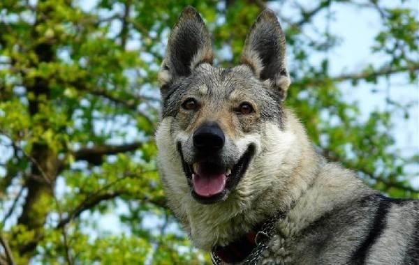 Вольфхунд-собака-Описание-особенности-содержание-и-цена-породы-вольфхунд-10
