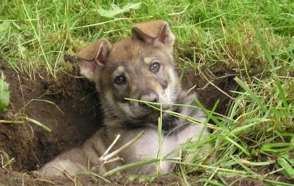 Вольфхунд-собака-Описание-особенности-содержание-и-цена-породы-вольфхунд-12
