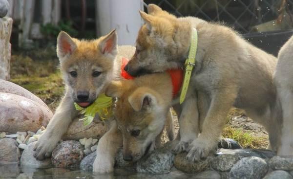 Вольфхунд-собака-Описание-особенности-содержание-и-цена-породы-вольфхунд-13