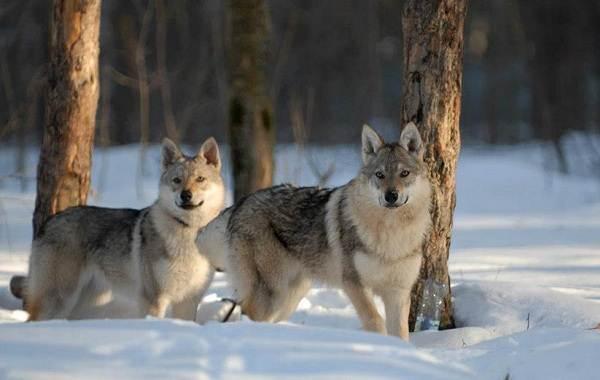 Вольфхунд-собака-Описание-особенности-содержание-и-цена-породы-вольфхунд-3