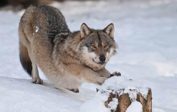 Вольфхунд-собака-Описание-особенности-содержание-и-цена-породы-вольфхунд-5