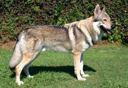 Вольфхунд-собака-Описание-особенности-содержание-и-цена-породы-вольфхунд-7