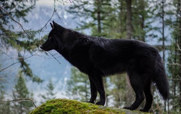Вольфхунд-собака-Описание-особенности-содержание-и-цена-породы-вольфхунд-8