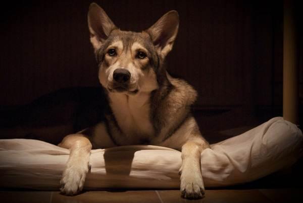 Вольфхунд-собака-Описание-особенности-содержание-и-цена-породы-вольфхунд-9