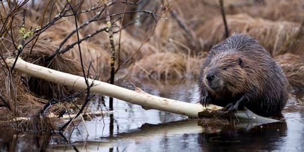 Бобр-животное-Описание-особенности-образ-жизни-и-среда-обитания-бобра-7