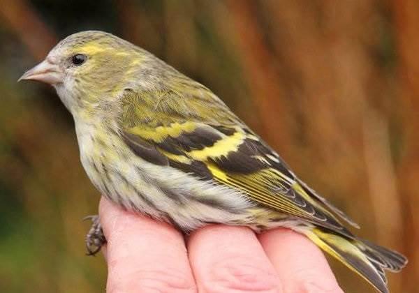 Чиж-птица-Описание-особенности-образ-жизни-и-среда-обитания-чижа-1
