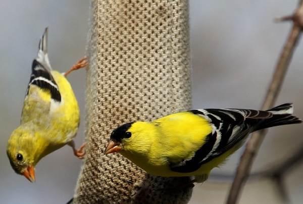 Чиж-птица-Описание-особенности-образ-жизни-и-среда-обитания-чижа-2