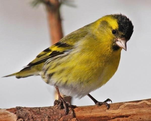 Чиж-птица-Описание-особенности-образ-жизни-и-среда-обитания-чижа-3