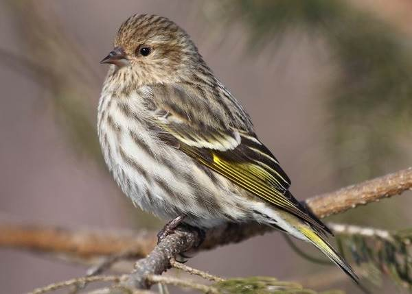 Чиж-птица-Описание-особенности-образ-жизни-и-среда-обитания-чижа-5