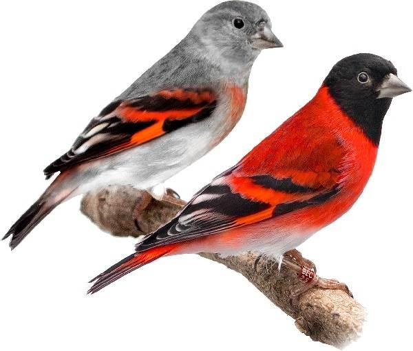 Чиж-птица-Описание-особенности-образ-жизни-и-среда-обитания-чижа-6
