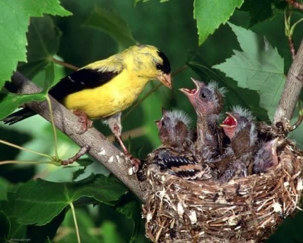 Чиж-птица-Описание-особенности-образ-жизни-и-среда-обитания-чижа-7