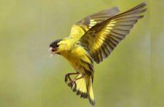 Чиж птица. Описание, особенности, образ жизни и среда обитания чижа