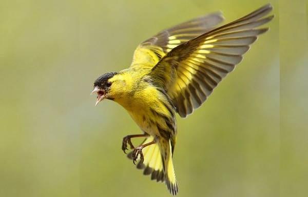 Чиж-птица-Описание-особенности-образ-жизни-и-среда-обитания-чижа-9