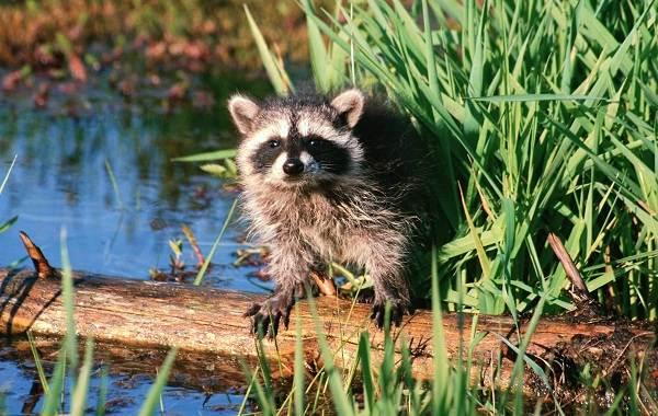 Енот-полоскун-животное-Описание-особенности-образ-жизни-и-среда-обитания-енота-полоскуна-11