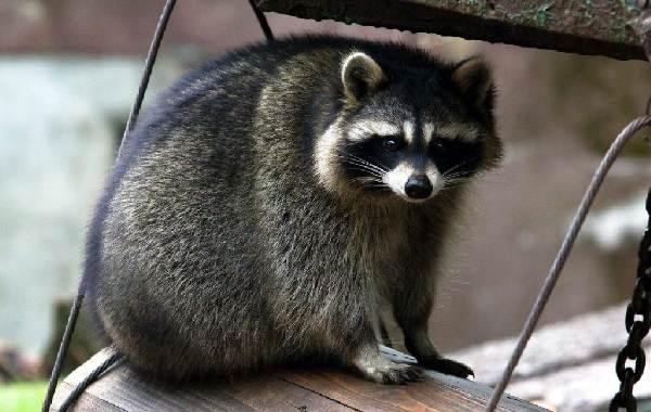 Енот-полоскун-животное-Описание-особенности-образ-жизни-и-среда-обитания-енота-полоскуна-12